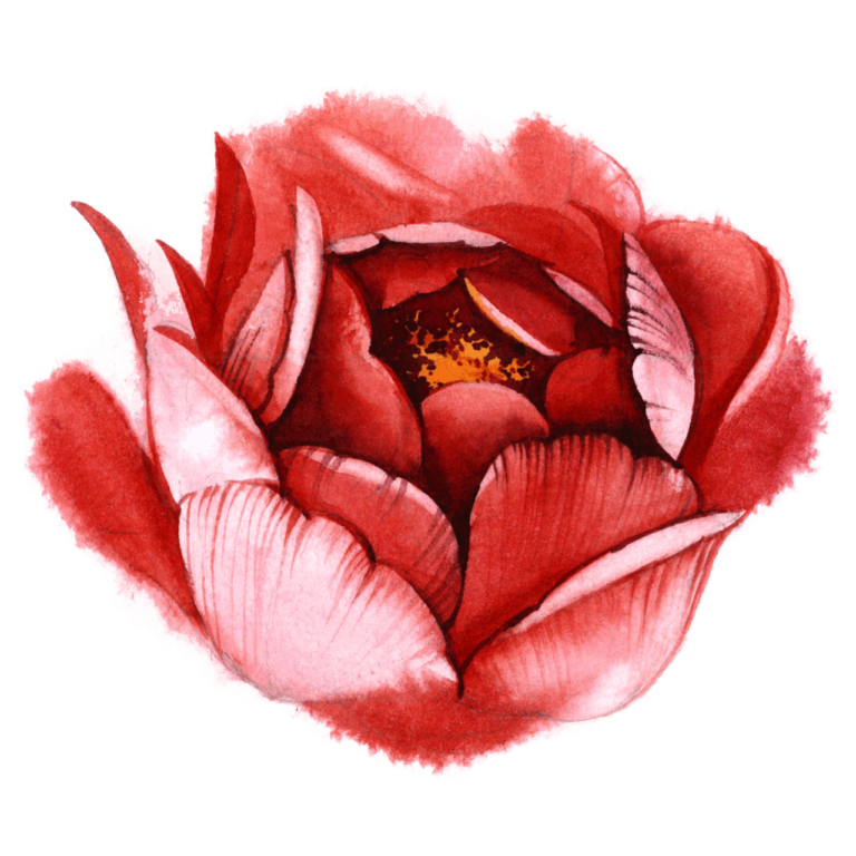 Red Watercolor rose flower png images