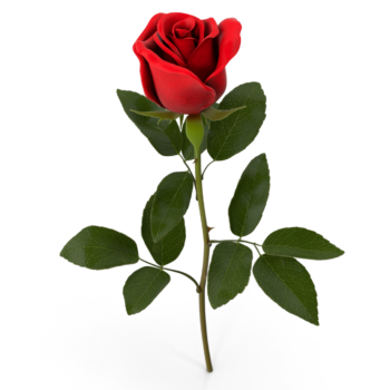 Rose E png image